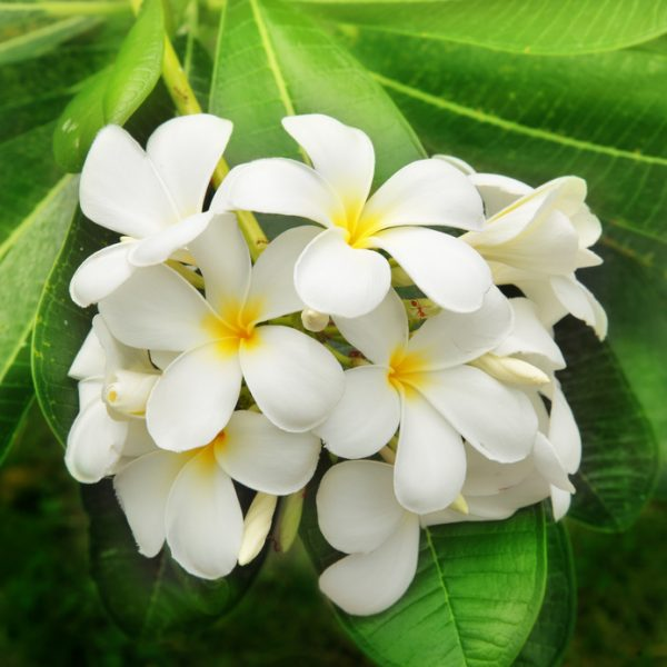 Branch of tropical flowers frangipani (plumeria)