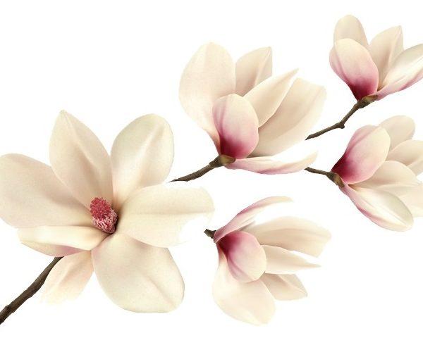 magnolia-blanc