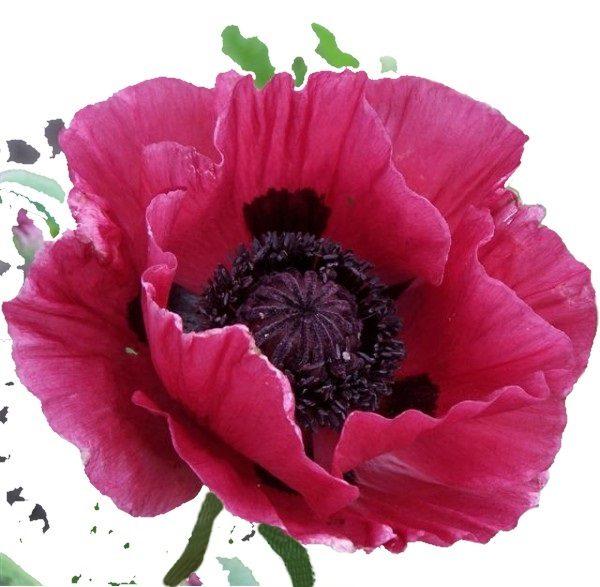 opium-noir