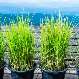85241061 - vetiver grass in flowerpot with natural view, thailand.